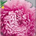 Астра Элегия насыщенно-розовая /5 г/ *Hem Zaden*