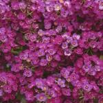 Алиссум Прозрачные кристалы пурпурный /100 гранул/ *Pan American*
