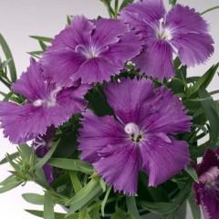 Гвоздика китайская Диана F1 темно-фиолетовая /100 гранул/ *Hem Genetics*
