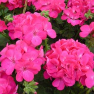 Пеларгония зональная Апачи F1 насыщенно-розовая /40 шт/ *Hem Genetics*