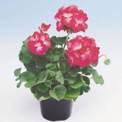 Пеларгония Апачи F1 розовый биколор /40 шт/ *Hem Genetics*