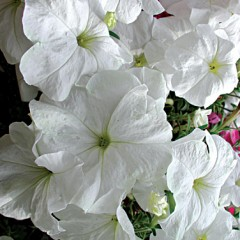 Петуния каскадная Лавина F1 белая /100 гранул/ *Cerny*