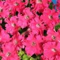 Петуния грандифлора Афродита F1 розовая /50 гранул/ *Cerny*