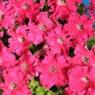 Петуния Афродита F1 розовая /50 гранул/ *Cerny*