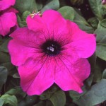 Петуния грандифлора Лимбо F1 пурпурная /100 гранул/ *Hem Genetics*