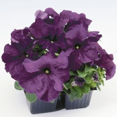 Петуния Лимбо F1 темно-пурпурная /100 гранул/ *Hem Genetics*
