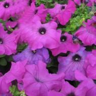 Петуния Танго F1 фиолетовая /100 гранул/ *Hem Genetics*