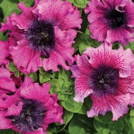 Петуния грандифлора Темно-пурпурная F1 /50 гранул/ *Cerny*