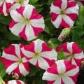 Петуния Ламбада F1 розовая звезда /100 гранул/ *Hem Genetics*