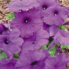 Петуния мультифлора Мамбо F1 насыщенно-пурпурная /100 гранул/ *Hem Genetics*