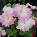 Петуния мультифлора Мамбо F1 розовое утро /100 гранул/ *Hem Genetics*