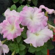 Петуния Мамбо F1 розовое утро /100 гранул/ *Hem Genetics*