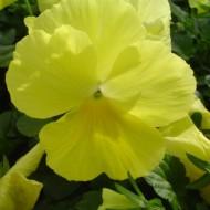 Фиалка Целло F1 лимонно-желтая /50 гранул/ *Hem Genetics*