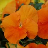 Виола Целло F1 насыщенно-оранжевая /50 гранул/ *Hem Genetics*