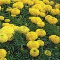 Бархатцы африканские Купидон желтые /5 г/ *Hem Zaden*