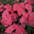Гвоздика Диана F1 насыщенно-розовая /100 гранул/ *Hem Genetics*