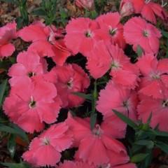 Гвоздика китайская Диана F1 насыщенно-розовая /100 гранул/ *Hem Genetics*