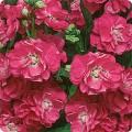 Матиола Сахар и специи розовая /0,2 г/ *Pan American*
