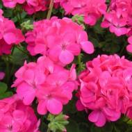 Пеларгония зональная Апачи F1 насыщенно-розовая /20 шт/ *Hem Genetics*