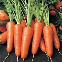 Морковь Роял Шантанэ /0,5 кг/ *Rem seeds*