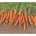 Морковь Шантанэ Ред Коред /0,5 кг/ *GSN*