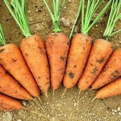 Морковь Шантанэ /0,5 кг/ *Rem seeds*