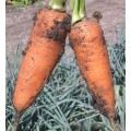 Морковь Шантанэ Роял /0,5 кг/ *Satimex*