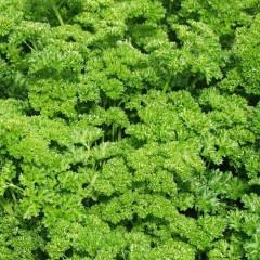 Петрушка кучерява /0,5 кг/ *Rem seeds*