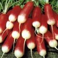 Редис 18 Дней /0,5 кг/ *Rem seeds*