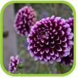 Луковичные цветы - весенняя коллекция