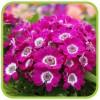 Цинерария цветущая (профпакет)