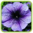 Семена цветов (цветочных культур)