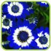 Перикаллис/цинерария цветущая (профпакет)