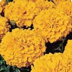 Бархатцы Чикаго Orange /500 семян/ *Kitano Seeds*