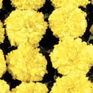 Бархатцы Чикаго Yellow /500 семян/ *Kitano Seeds*