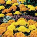 Бархатцы Чикаго Formula Mix /500 семян/ *Kitano Seeds*