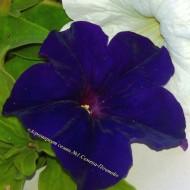 Петуния Танака Blue /500 драже/ *Kitano Seeds*