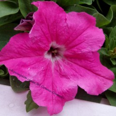 Петуния Танака Deep Rose /500 драже/ *Kitano Seeds*