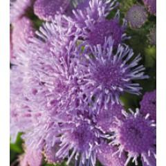 Агератум Принц Blue /250 драже/ *Kitano Seeds*