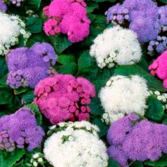 Агератум Принц Mix /250 семян/ *Kitano Seeds*