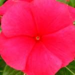 Катарантус Раймонд Red /100 семян/ *Kitano Seeds*
