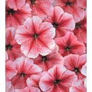 Петуния Амфора Strawberry /1.000 драже/ *Kitano Seeds*