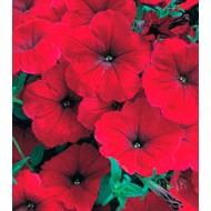 Петуния Амфора Red /500 драже/ *Kitano Seeds*