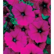 Петуния Амфора Ruby /1.000 драже/ *Kitano Seeds*