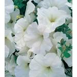 Петуния Амфора White /500 драже/ *Kitano Seeds*