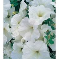Петуния Амфора White /1.000 драже/ *Kitano Seeds*
