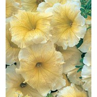 Петуния Амфора Yellow /500 драже/ *Kitano Seeds*