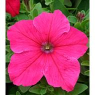 Петуния Виртуоз Bright Rose /500 драже/ *Kitano Seeds*