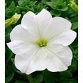 Петуния Виртуоз White /1.000 драже/ *Kitano Seeds*