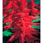 Сальвия Оливер Red /1 г/ *Kitano Seeds*